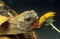 testudo hermanni / Hermann´s tortoise / Greek tortoise