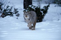 Lynx,Lynx canadensis,Rocky Mountains,Montana,USA,adult male hunting in snow