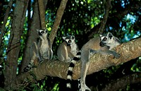 Ring-Tailed Lemur,Lemur catta,Berenty Game Reserve,Madagascar,Africa,group of adults on tree
