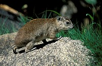 Rock Dassie,Procavia capensis,Serengeti Nationalpark,Tanzania,Africa,adult on rock