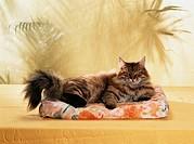 cat lies on a pillow