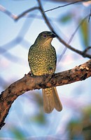 Satin Bowerbird,Ptilonorhynchus violaceus,Australia,adult female on tree