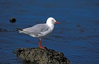 Silver Gull,Larus novaehollandiae,Australia,adult on rock