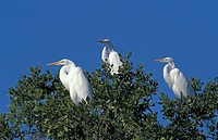 Great White Egret,Egretta alba,Sanibel Island,Florida,USA,group of adults on tree