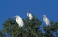 Great White Egret,Egretta alba,Sanibel Island,Florida,USA,group of adults on tree