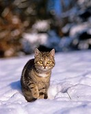 young domestic cat - in snow