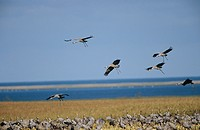 grus grus / common crane