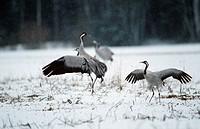 grus grus / crane in snow