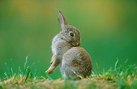 young Old World rabbit preens itself