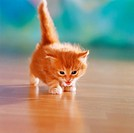 red domestic kitten