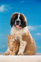 Animalfriendship  St Bernhard cub with cat