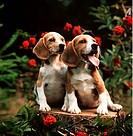 2 Beagle