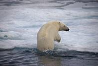 Ursus maritimus / polar bear