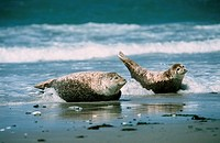 seals on beach / Phoca vitulina