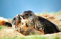 two Alpine marmots / Marmota marmota