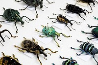 Beetle collection  Display of various weevil beetles order Coleoptera mounted and pinned on card  It is etimated that there are between 5 and 8 millio...