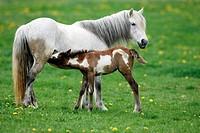 mare suckling foal