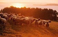 domestic sheep in sunset / Ovis aries