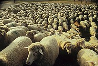 flock of domestic sheep / Ovis aries