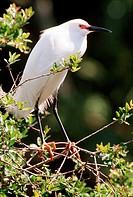 egretta thula / snowy egret
