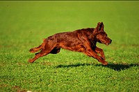 irish setter - running on meadow