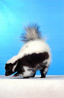 young striped skunk / Mephitis mephitis