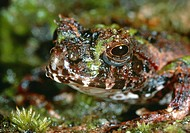 Unidentified frog photographed on the floor of a Madagascan forest  The skin of the frog mimics the appearance of a moss-covered log or rock and provi...