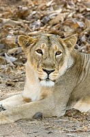 Female Asiatic lion Panthera leo persica resting  The Asiatic lion is critically endangered and is only found in Gir Forest National Park and Wildlife...
