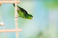 Barred Parakeet / Lineolated Parakeet on corded ladder / Bolborhynchus lineola