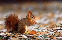 European red squirrel with nut