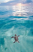 Swimming Baby Green sea turtle, green turtle, Chelonia mydas