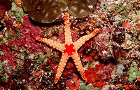 Red mesh starfish, Fromia monilis