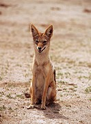 black-backed jackal - sitting - frontal / Canis mesomelas