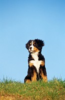 Bernese mountain welph - sitting on grass