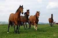 Oldenburger warm blooded horses - young stallions