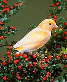 canary bird - on twig with berries / Serinus canaria