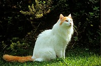 turkish van cat - sitting on meadow