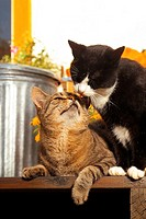 two cats - smooching