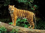 Sumatran tiger - standing / Panthera tigris sumatrae