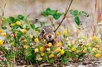 young european hare - sitting behind flowers / Lepus europaeus