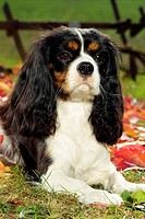 Cavalier King Charles Spaniel - lying on meadow