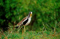 white-crowned plover / Vanellus albiceps