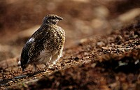 Spruce grouse / Canachites canadensis