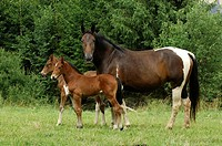 Pinto / Paint horse - with two foals
