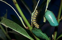 monarch butterfly - caterpillar and cocoon / Danaus plexippus