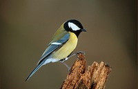 great tit - sitting on pale / Parus major