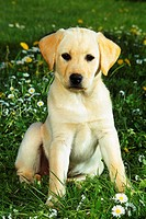 Labrador puppy - sitting on flower meadow