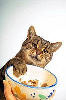 tabby domestic cat at feeding bowl