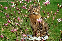 tabby domestic cat - sitting between blossoms