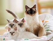 Sacred cat of Burma with three kittens on blanket